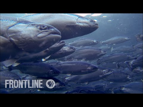 Video shows 'Ocean Farm 1' approaching Froya   SalmonBusiness