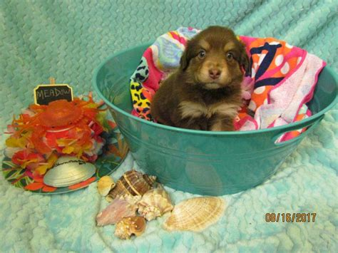 Shamrock Rose Aussies -  EXCITING NEWS!!! 2 Litters