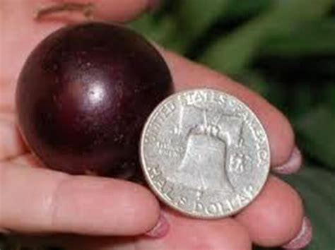 *WORLD'S LARGEST* *RED TAME GIANT MUSCADINE GRAPE*RARE